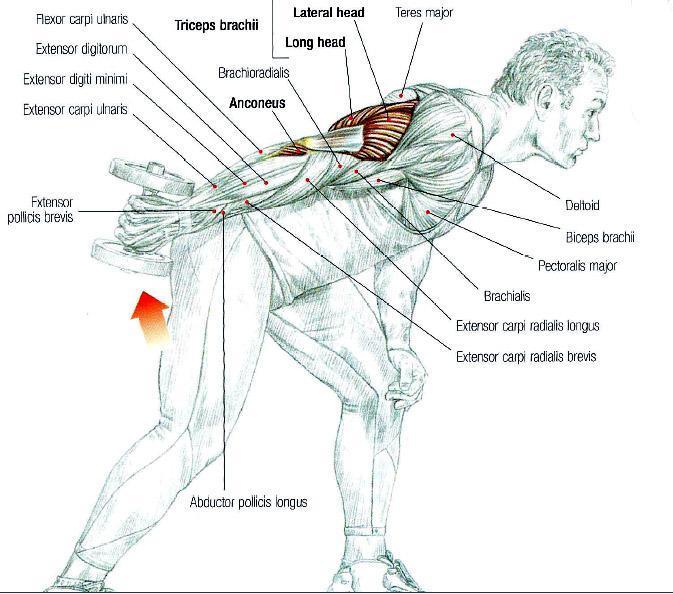 Triceps (Arka Kol) Kası Hareketleri
